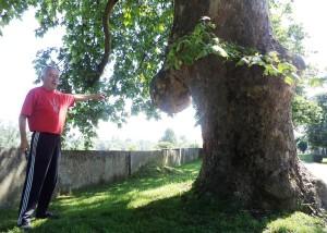 dubica04 stabla posadjena pre 150 godina